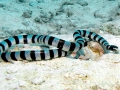 Black-banded Sea Krait