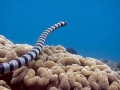 Black-banded Sea Krait