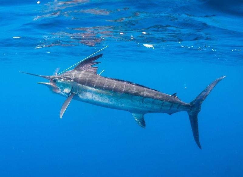 """Black Marlin – """"OCEAN TREASURES"""" Memorial Library"""