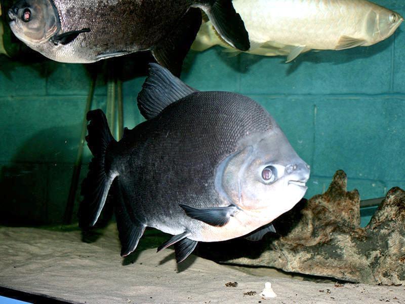 Black pacu ocean treasures memorial library for Pacu fish for sale