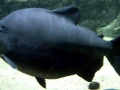 Black Pacu