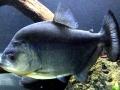 Black Piranha