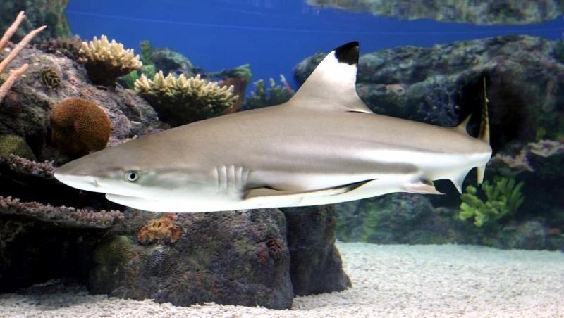 Blacktip Reef Shark Quot Ocean Treasures Quot Memorial Library