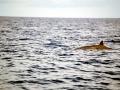 Blainville's Beaked Whale