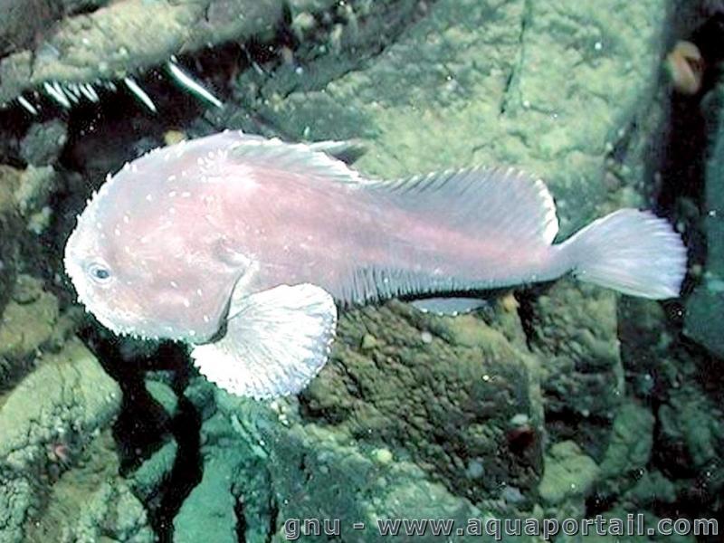 """Blobfish « """"OCEAN TREASURES"""" Memorial Library"""