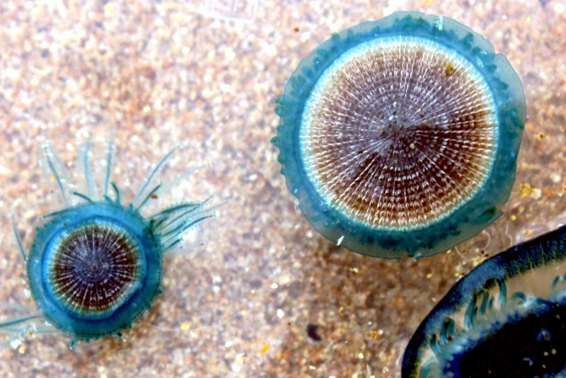 Blue Button Jelly