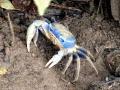 Blue_crab