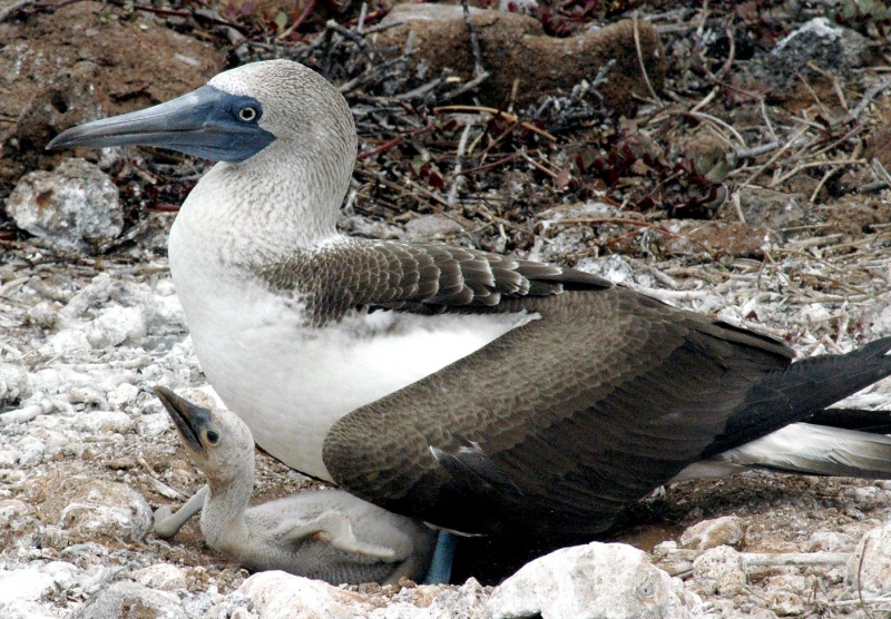 Blue Footed Boob 66
