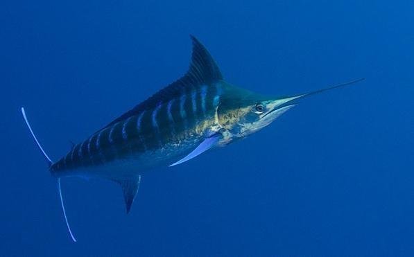 Blue Marlin Quot Ocean Treasures Quot Memorial Library