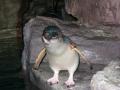 Blue Penguin