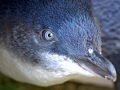 Blue Penguin