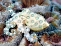 Blue-ringed Octopus