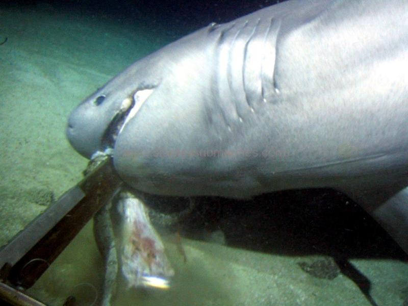 Bluntnose Sixgill Shark