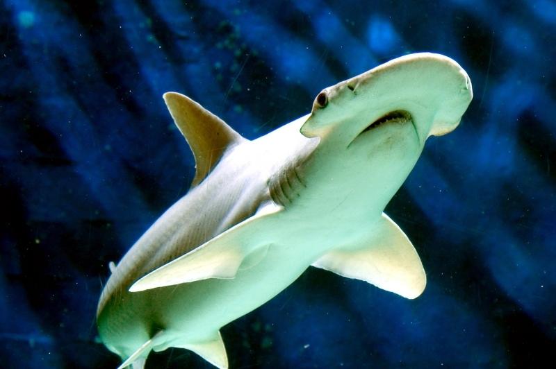 Bonnethead Hammerhead Shark