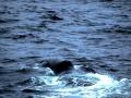 Bowhead Whale