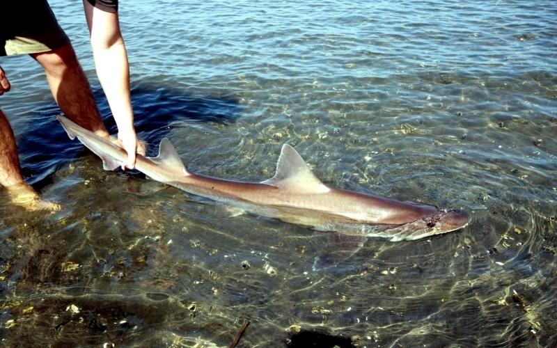 Bronze Whaler Shark