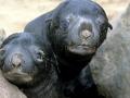 Cape Fur Seal