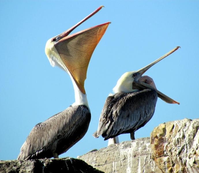 Brown Pelican Food Diet