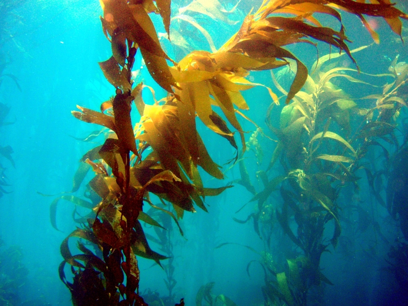 Bull Kelp Quot Ocean Treasures Quot Memorial Library