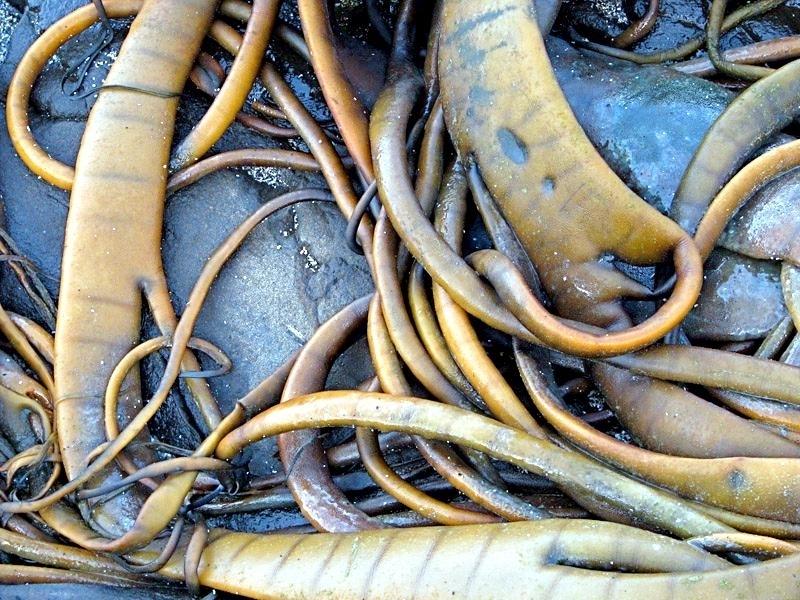 how to eat bull kelp