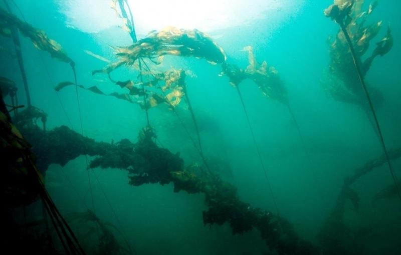 Bull Kelp Quot Ocean Treasures Quot Memorial Library