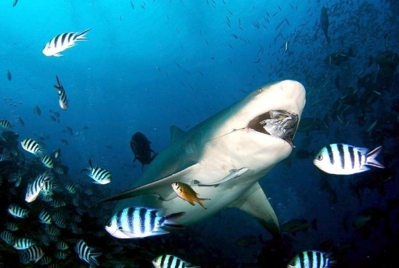 Bull shark ocean treasures memorial library for What do fish eat in the ocean