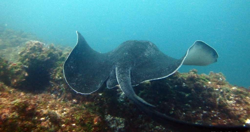 Australian Bull Stingray  U2013  U0026quot Ocean Treasures U0026quot  Memorial Library