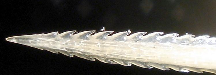 Australian Bull Stingray