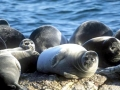 Caspian Seal
