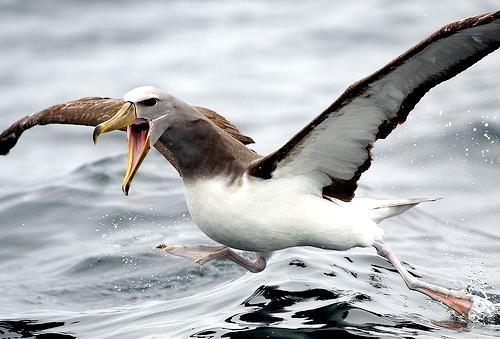 Chatham Albatross