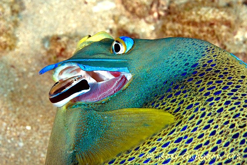 Cleaner Wrasse