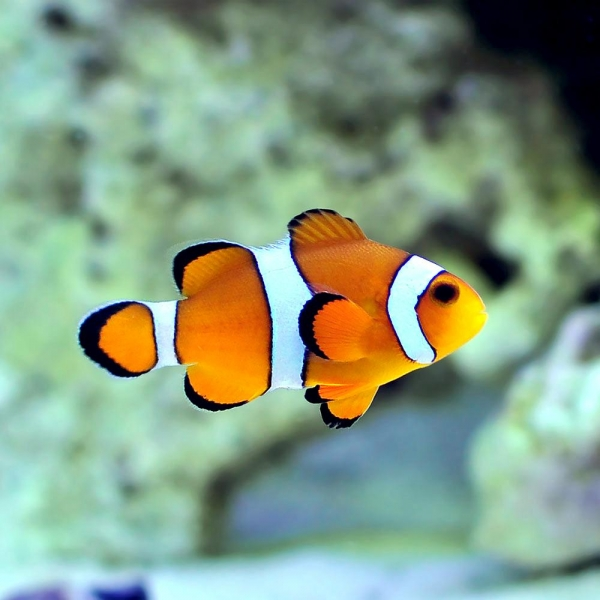 Clownfish ocean treasures memorial library for What do clown fish eat