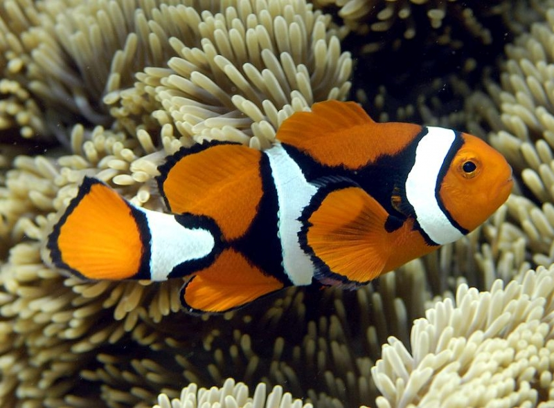 relationship between anemonefish and sea anemones eating