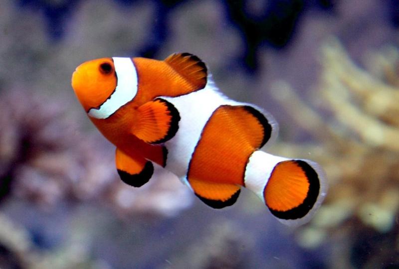 Clownfrosch