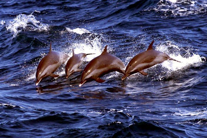 Clymene Dolphin