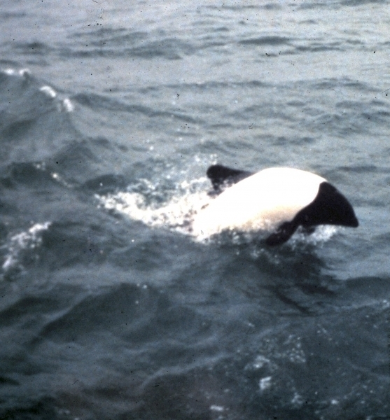 "Commerson's Dolphin – ""OCEAN TREASURES"" Memorial Library"