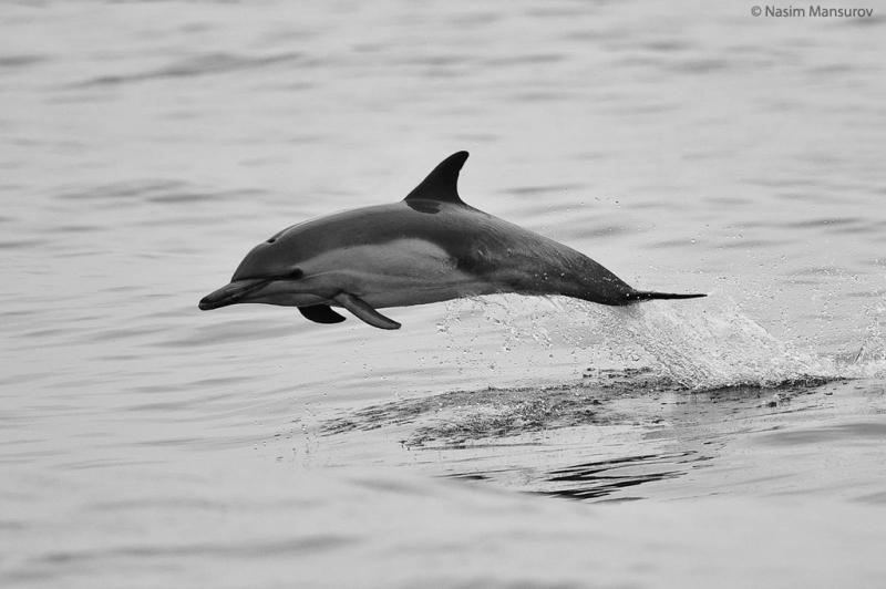 Common Dolphin