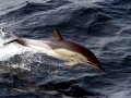 Common Dolphin