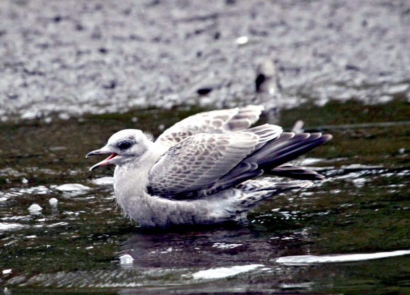 Common Mew Seagull