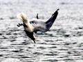 Common Mew Seagull