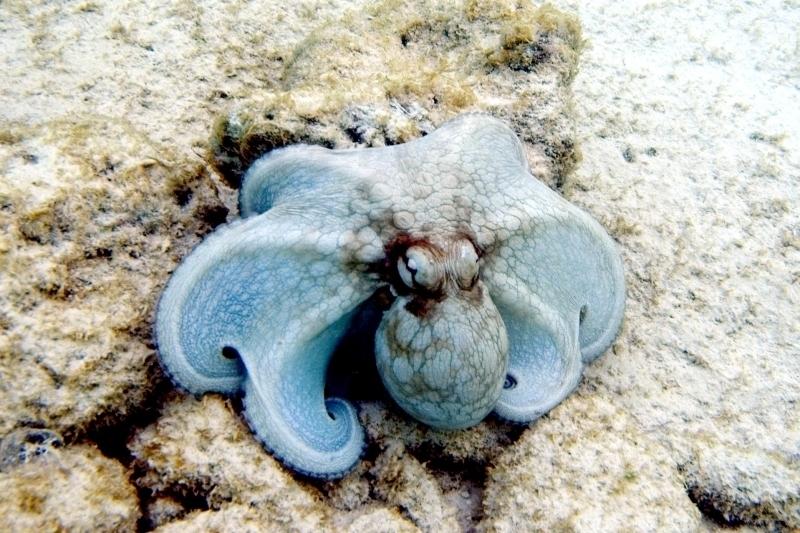 """Common Octopus - """"OCEAN TREASURES"""" Memorial Library"""