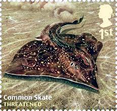 Common Skate