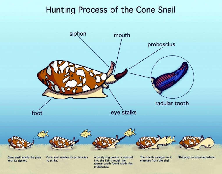 Cone Snail Quot Ocean Treasures Quot Memorial Library