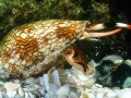 Cone Snail