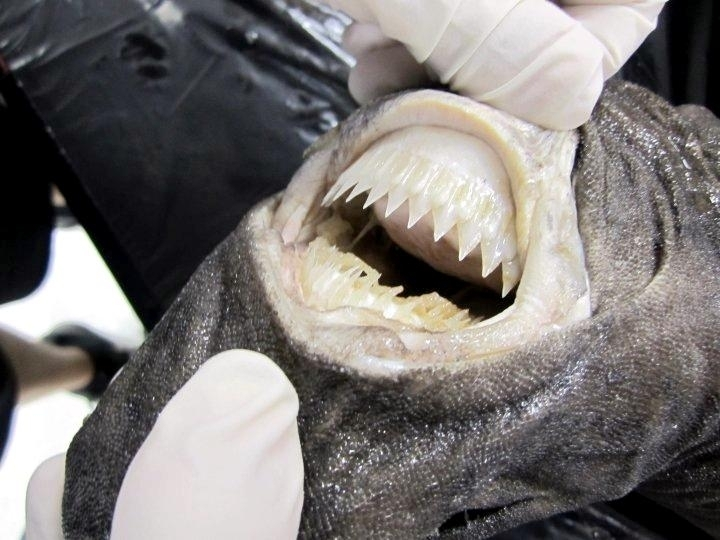 Cookie-Cutter Shark �...