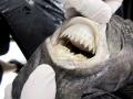 Cookie-Cutter Shark
