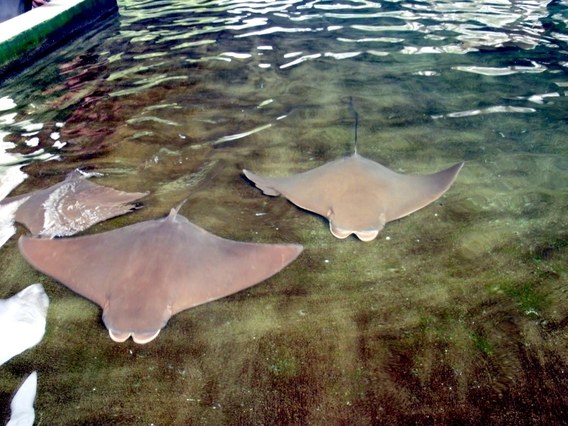 Cownose Ray