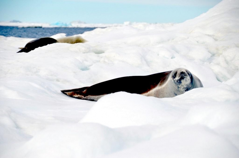 crabeater seal fact sheet Chain 7—algae, krill, crabeater seal, killer whale chain 8—algae, krill, adelie penguin, killer whale 5 krill, algae, small animals, and protists.