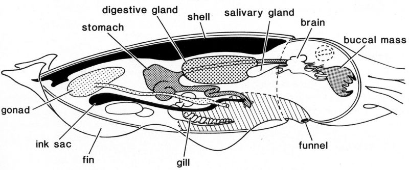 Anatomy of a cuttlefish