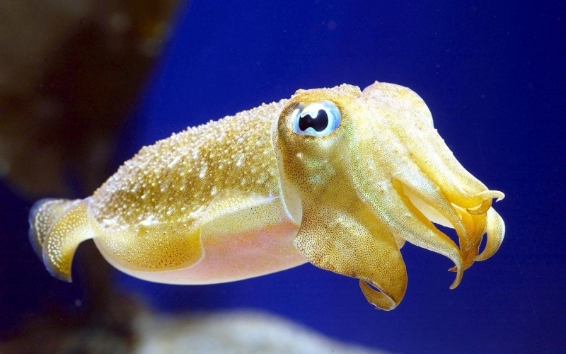 Image result for Cuttlefish